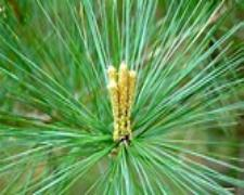 White Pine Needle Tincture Botanical at TwoWillows.US